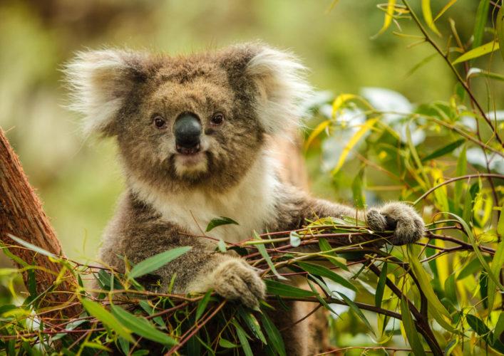 koala-istock_18128829_xlarge-2
