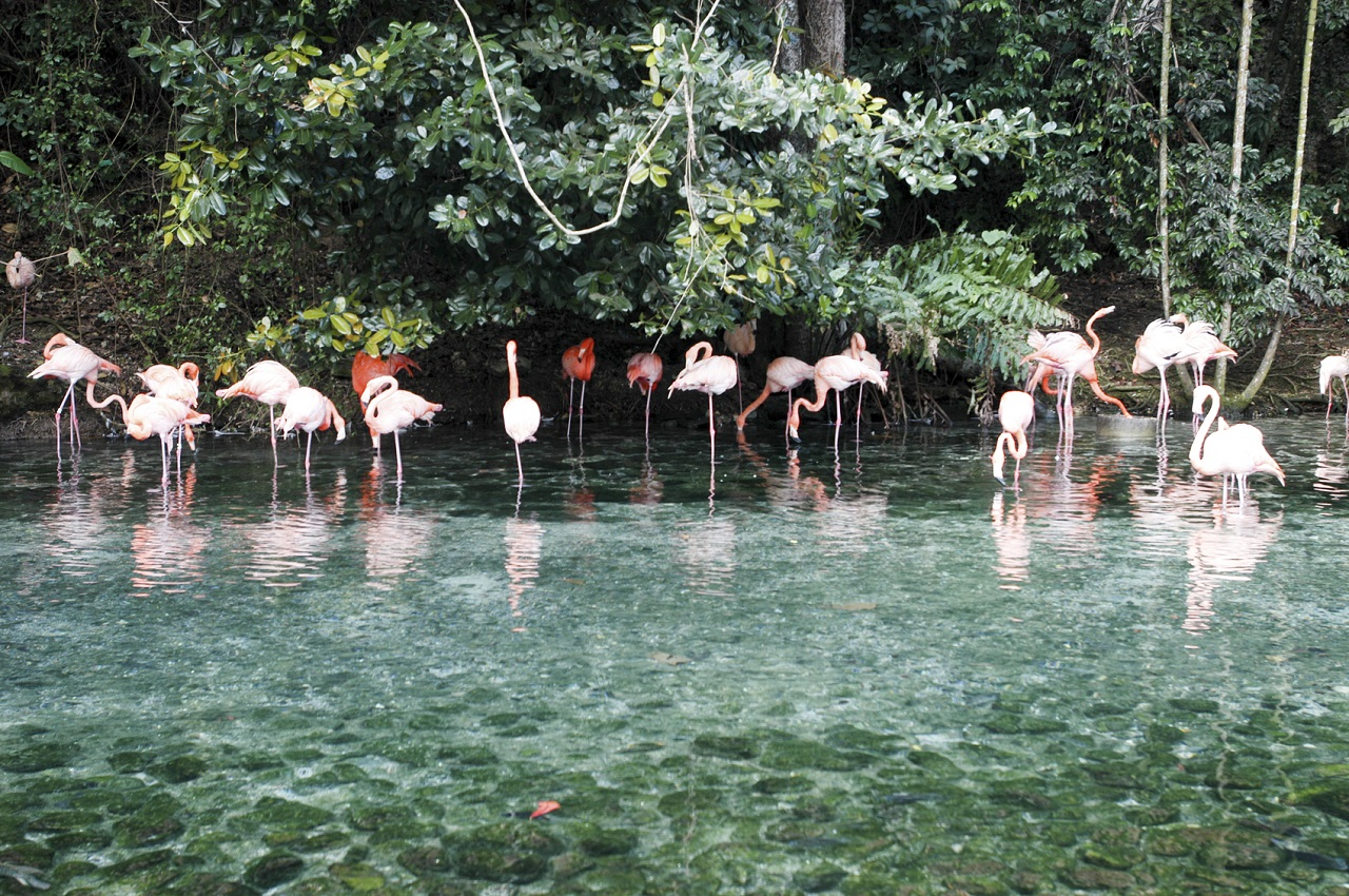 A flock of pink flamingos and reflection in the water