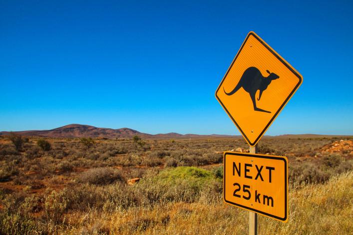 Kangaroos on the road