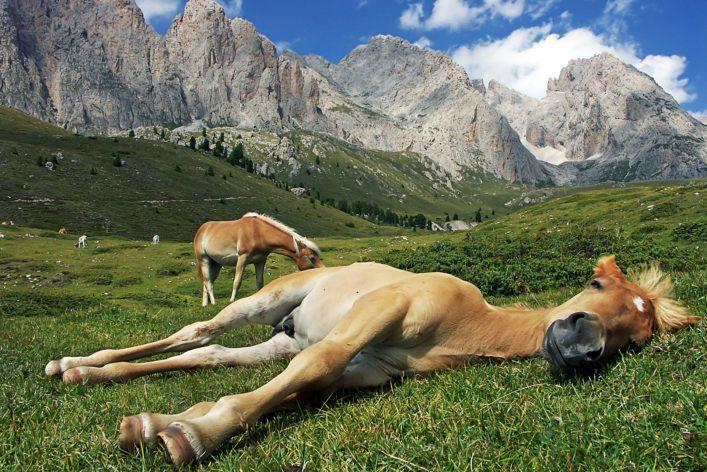 haflinger_suedtirol_sleeping-horses_shutterstock_103891835