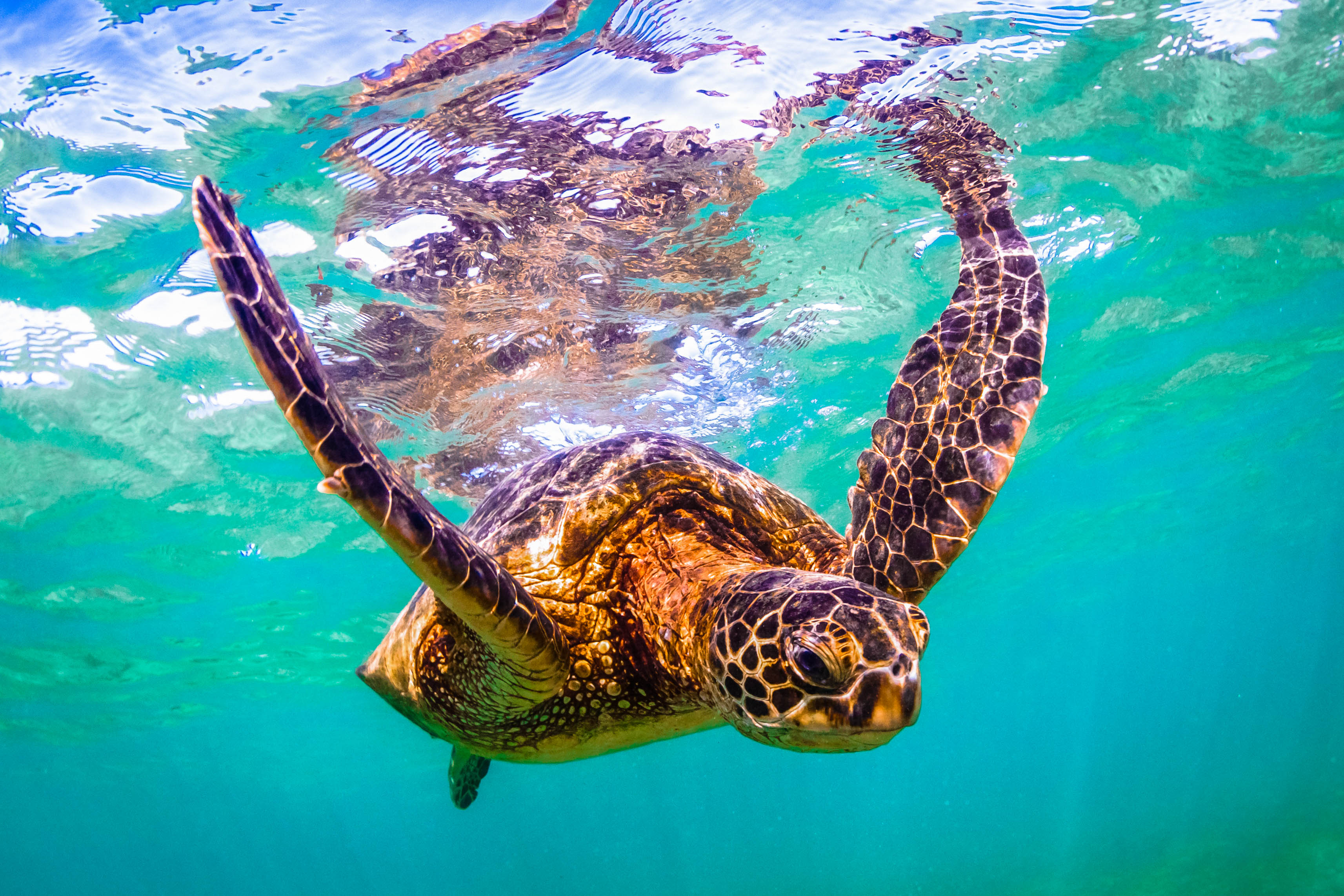 Schildkröte Turtle Abtauchen Tauchen Unterwasserwelt