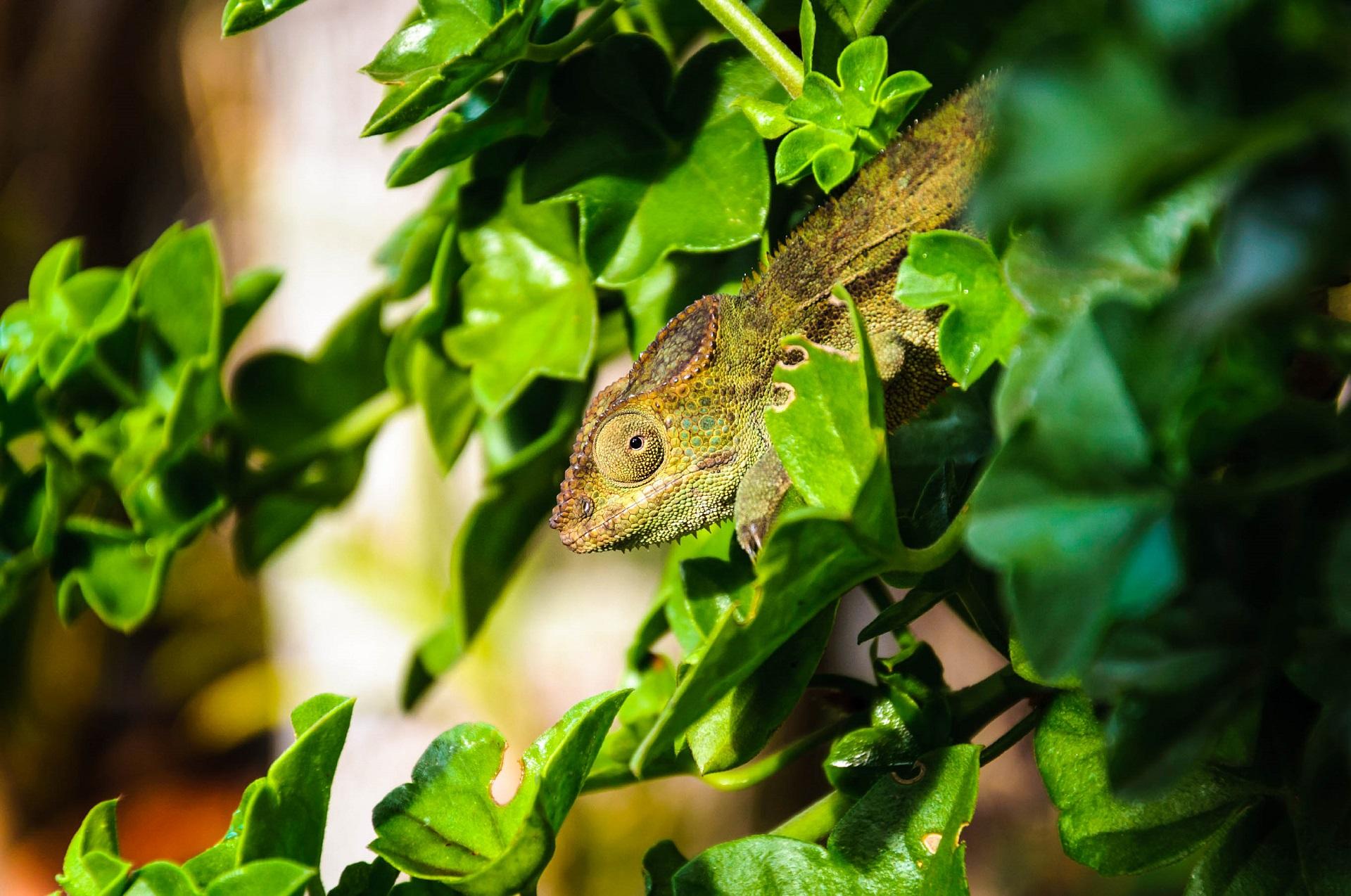 La Réunion Botanischer Garten Chamäleon