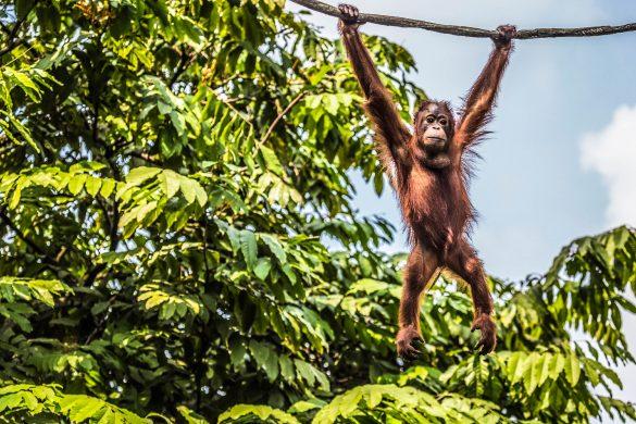 Borneo, Indonesien Orang Utan