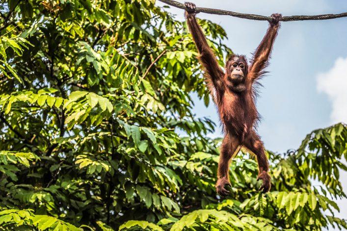 Ein Orang Utan auf der indonesischen Insel Borneo