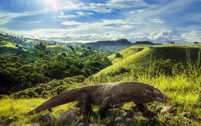 Ein Komodowaran auf Komodo in Indonesien
