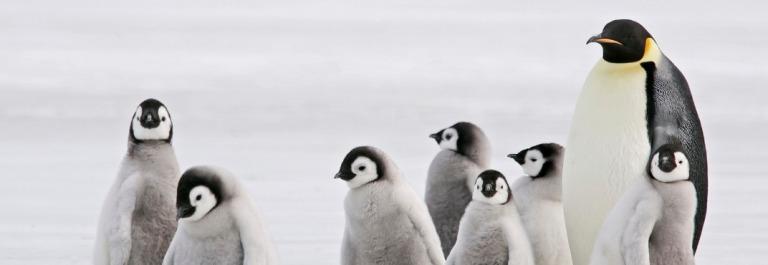 Antarktische-Babysitter-Kaiserpinguin-iStock_000011385874_Large_1920