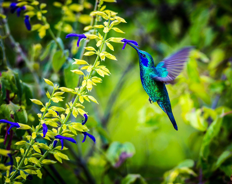 Barbados, Hunte's Garden, Hummingbird