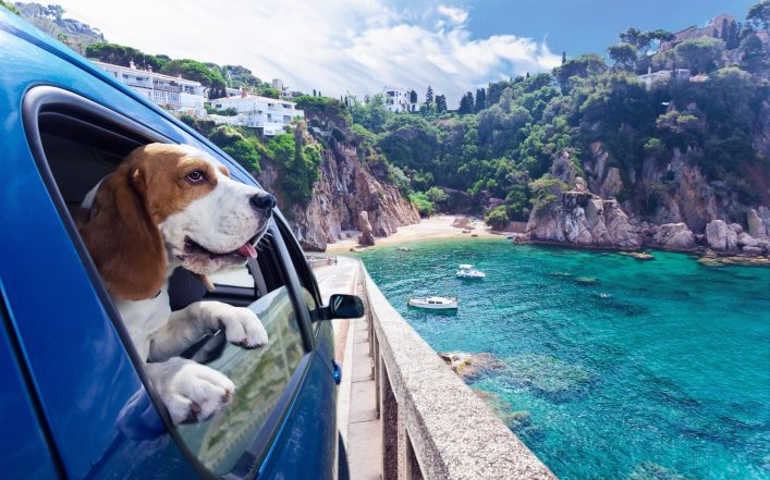Cute dog travels in car to the sea