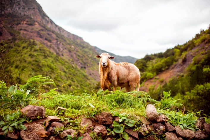 Sheep portrait on the mountains