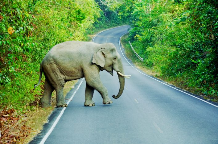 elephant-crossing-street-khao-yai-nationalpark-istock_000038023472_large (1)