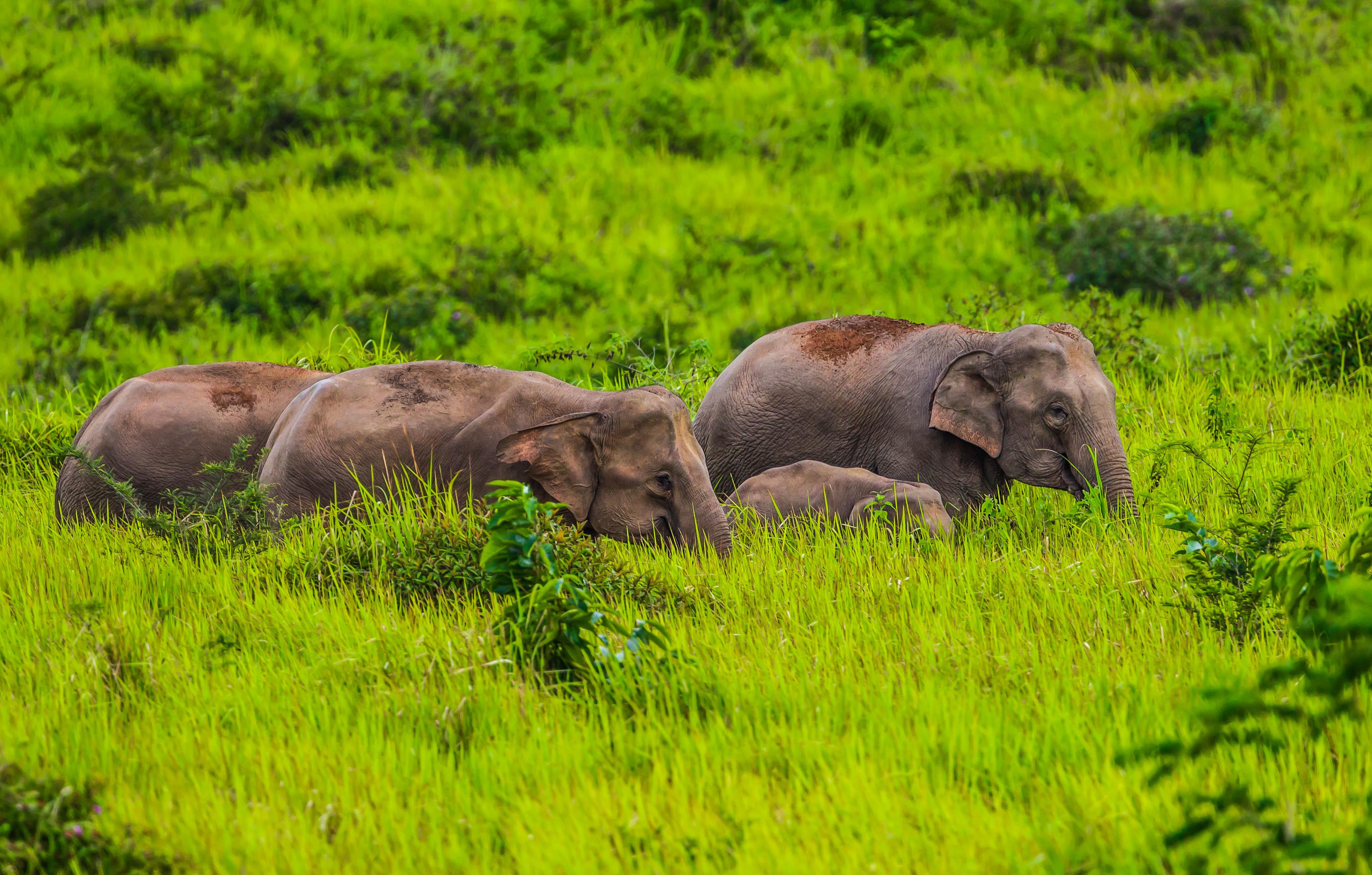 Gruppe von wilden Elefanten Nationalpark Khao Yai Thailand