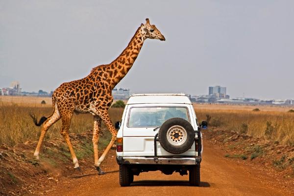 Giraffe-crossing-road-iStock_14582120_LARGE-2-1