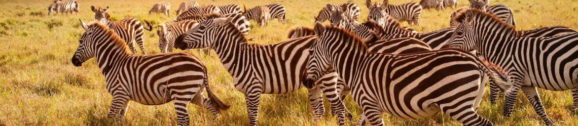 Zebras-am-Morgen-iStock_22795487_XLARGE-2