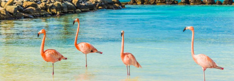 Four flamingos on the beach Aruba shutterstock_413176471-2