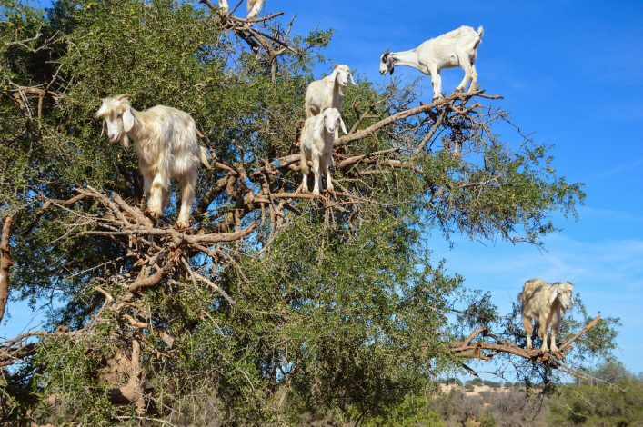 argan-trees-and-the-goats-on-the-way-between-marrakesh-and-essaouira-in-morocco-shutterstock_375473125-2