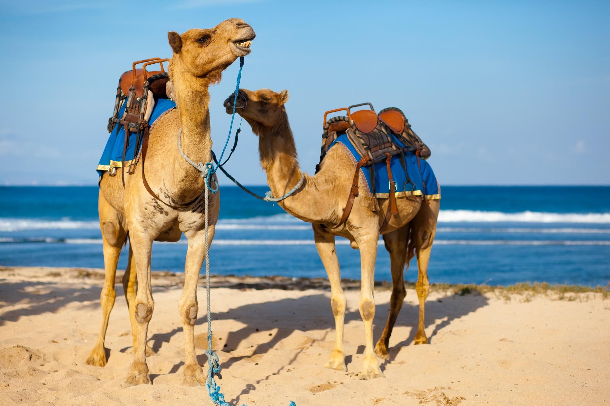 Kamele, Strand, Marokko