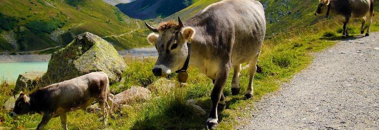 cow-908796_1920 tirol berge sommer