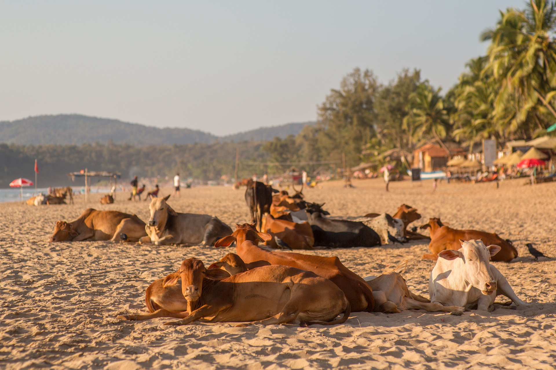 Kühe am Strand von Goa