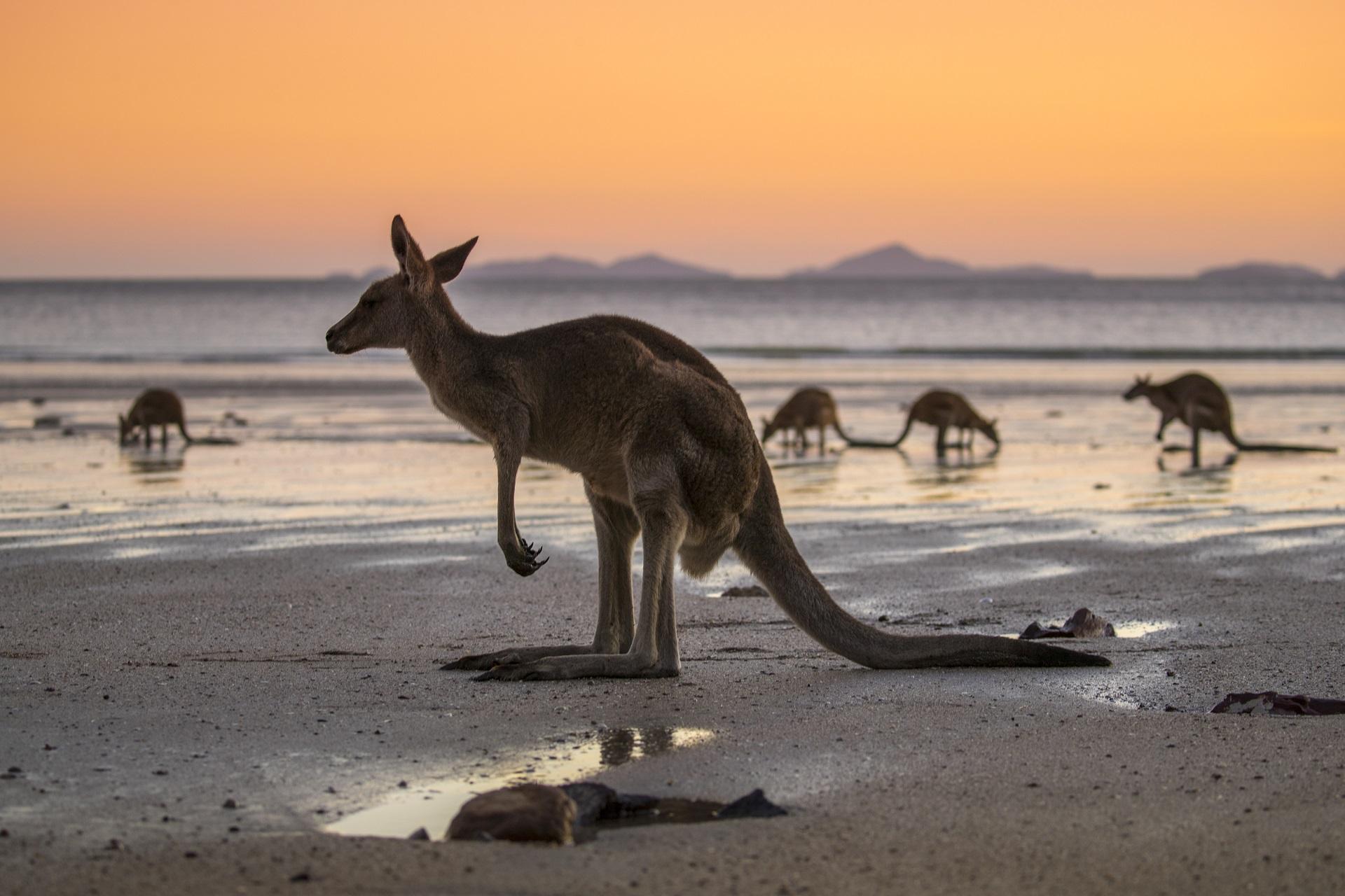 Ein Känguru am Strand