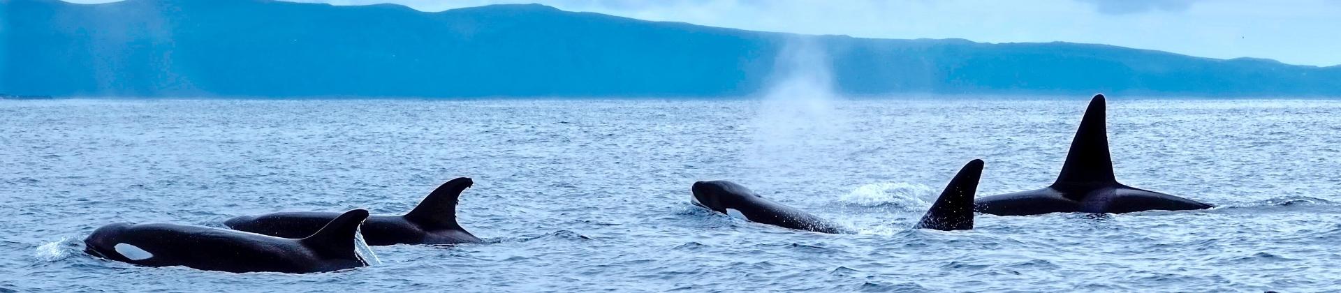 Orcawale im Atlantik