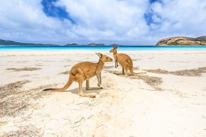 Kängurus am Strand von Australien