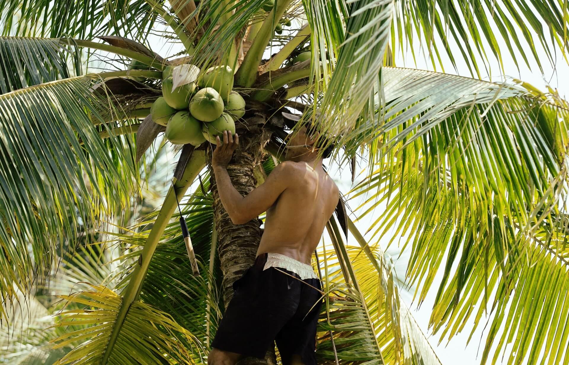 Die Kokusnusskletterer sorgen für die Kokusnussernte