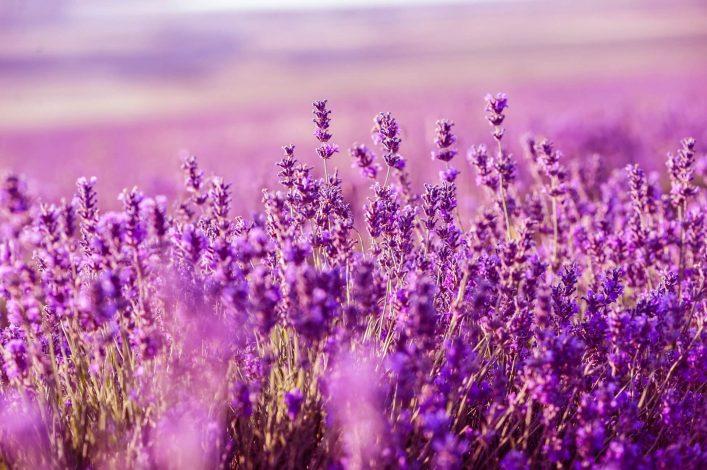 Lavendelfelder in der Provence: ein Meer aus Lavendelblüten