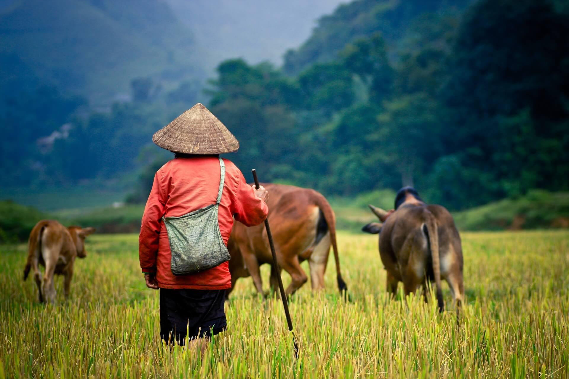 Ein Farmer auf einem Reisfeld in Kambodscha