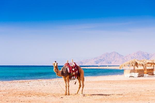 Ägyptisches Kamel am Roten Meer