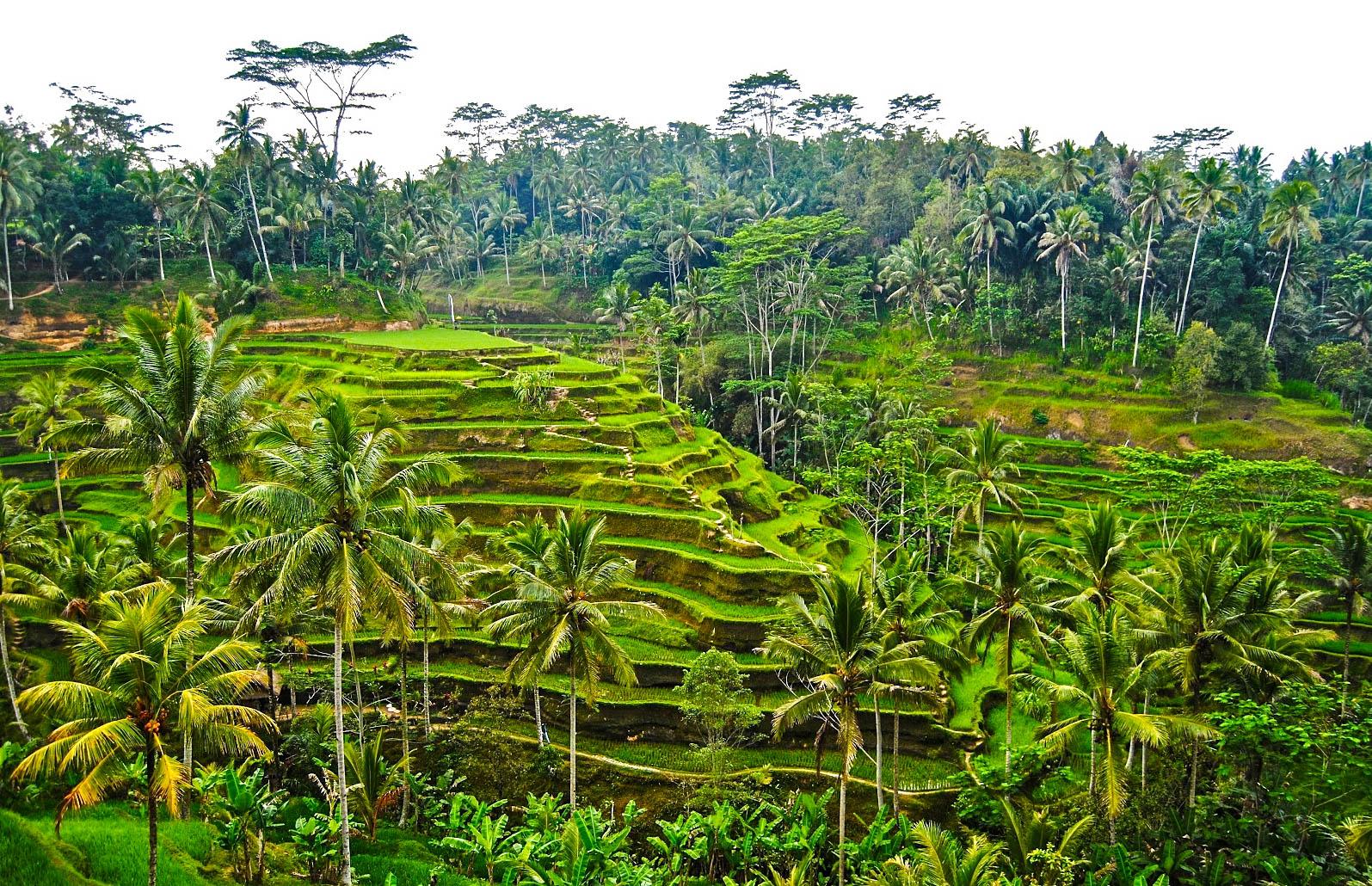 Die Reisterrassen findet man auf Bali überall