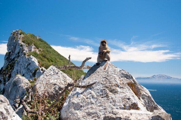 Marmoset in Rock of Gibraltar