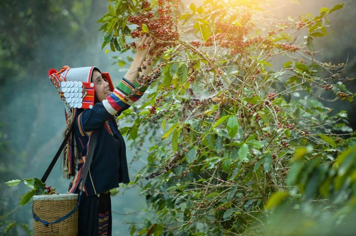 woman-unidentified-coffee-farmer-is-harvesting-coffee-berries-in-the-coffee-farm-Woman-wearing-traditional-thai-lanna-people-vintage-styleThailand-shutterstock_781126141