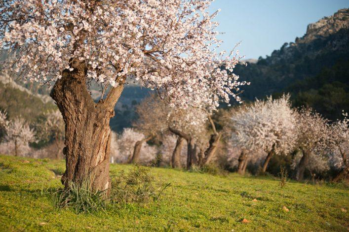 almond-tree-istock-158677912-2-e1546846404141