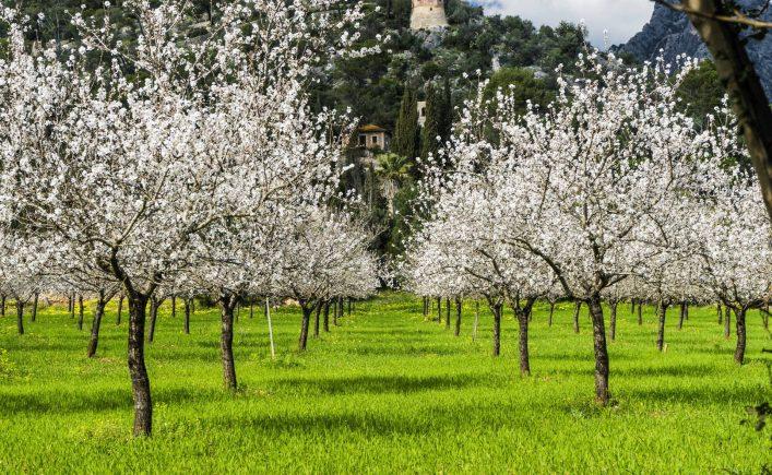 almond-trees-in-a-grassy-field-shutterstock_592820381-2-e1546846775426