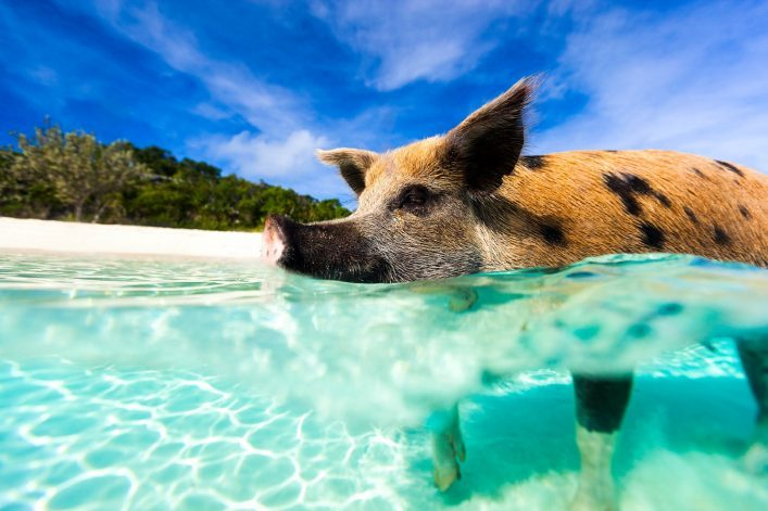 swimming-pig-of-exuma-island-istock_000063554401_large-2