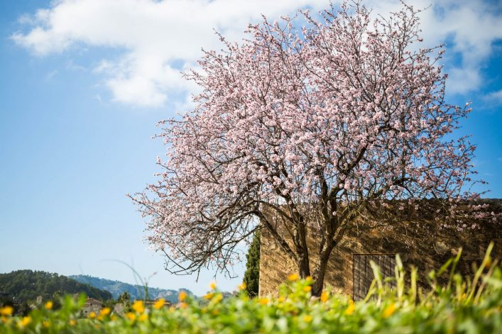 wunderschoene-mandelbaum-im-spanischen-landschaft-istock-465375678-2-e1546847205345