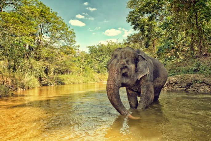 Elefant-in-Thailand-iStock-481026451
