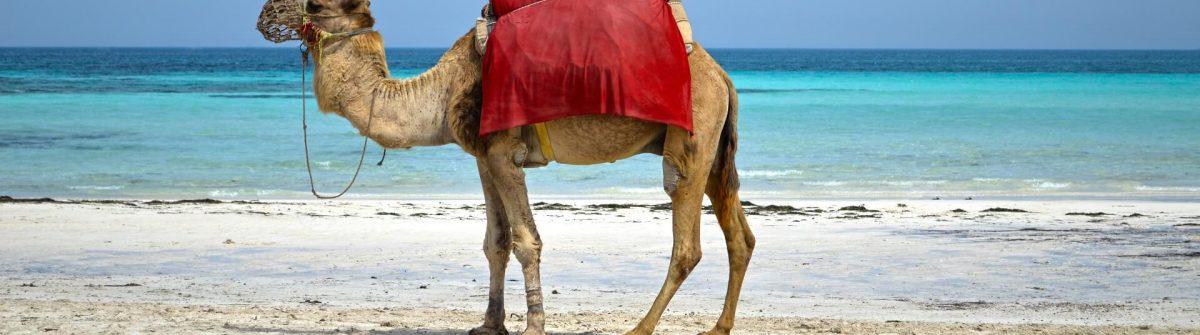 Camel-Djerba-island-beach-shutterstock_695660398