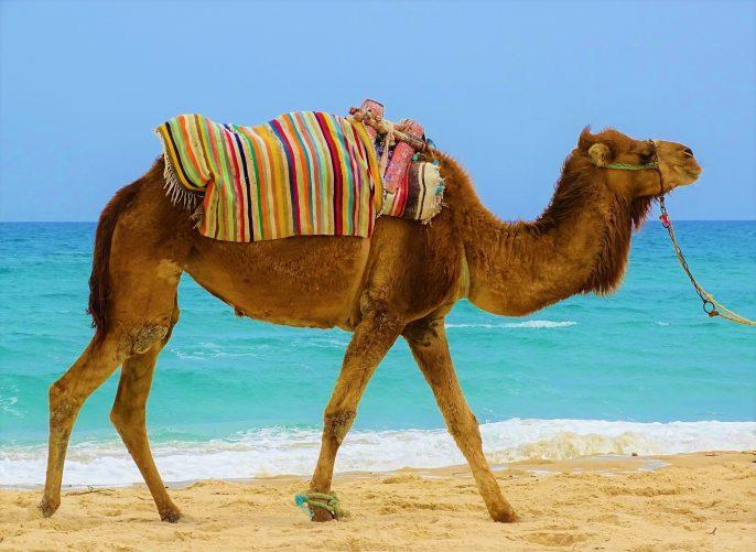 dromedary-1367972_1920-tunesien
