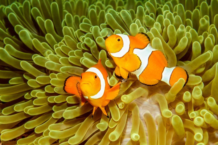 two-clown-anemonefishes-istock_19252380_xlarge-2-707×471