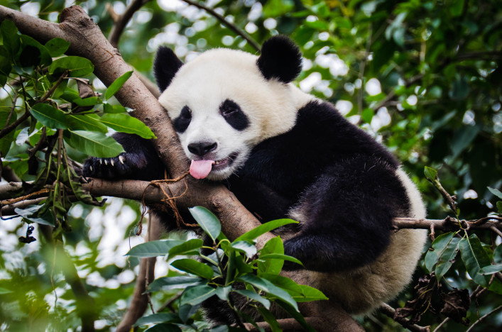 http://www.urlaubsguru.at/wp-content/uploads/2016/07/panda-with-tongue-out-istock_000018810497_large-2-1-707x468.jpg