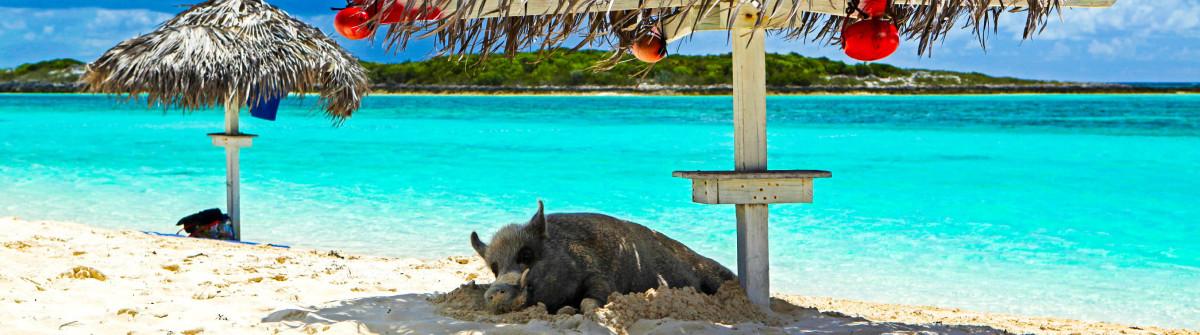 Pig on the beach Bahamas iStock_000014488883_Large-3