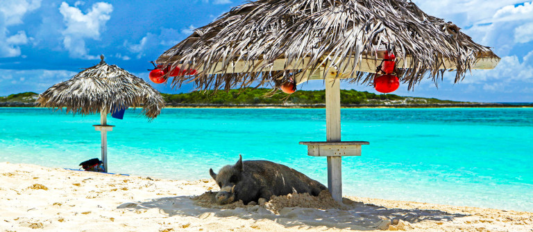 Pig on the beach Bahamas iStock_000014488883_Large-3